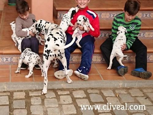 dalmatas cachorros con niños