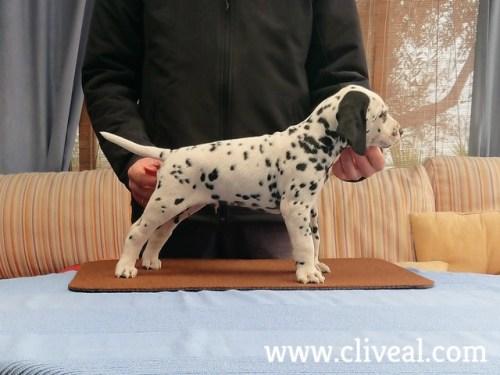 dalmatian puppy facile vivere de cliveal