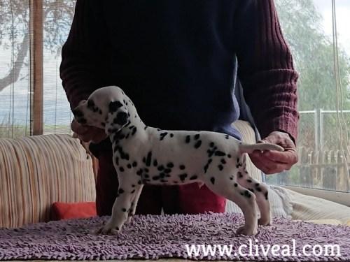 dalmatita cachorrito de cliveal