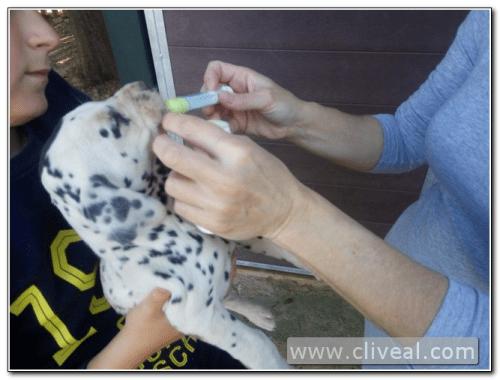 desparasitacion cachorro dalmata