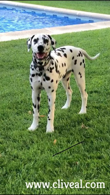 perro dalmata madrid