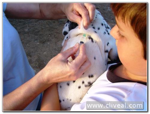primera vacunación cachorro dálmata