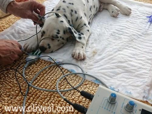 test baer perro sevilla
