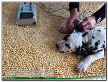 test-de-sordera-cachorro-dalmata