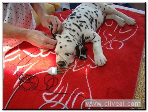 test sordera cachorro dalmata
