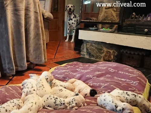 vigilando cachorros