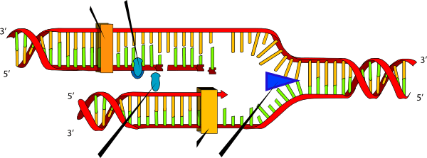 blank dna diagram keystone cougar wiring diagrams replication - only ligase, helicase and polymerase clip art at clker.com vector ...