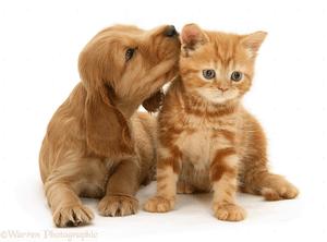 Small Cute Baby Kissing Wallpaper Golden Cocker Spaniel Puppy And Ginger Kitten White