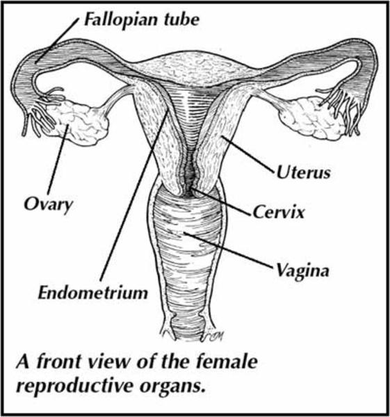 reproductive diagram of horse