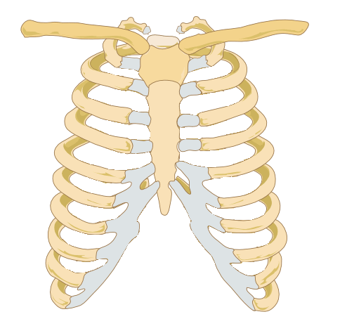blank skull diagram anterior 2004 f150 wiring rib cage | free images at clker.com - vector clip art online, royalty & public domain