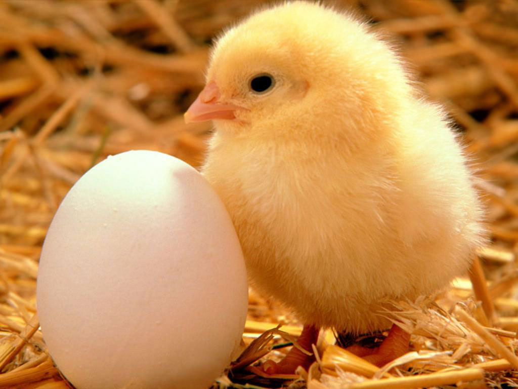 baby chicken free images