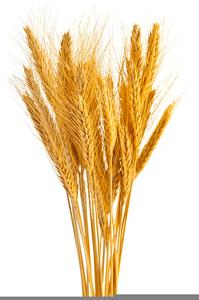 free clipart wheat sheaves