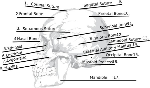 Answers Skull Bones Quiz Clip Art At Clker