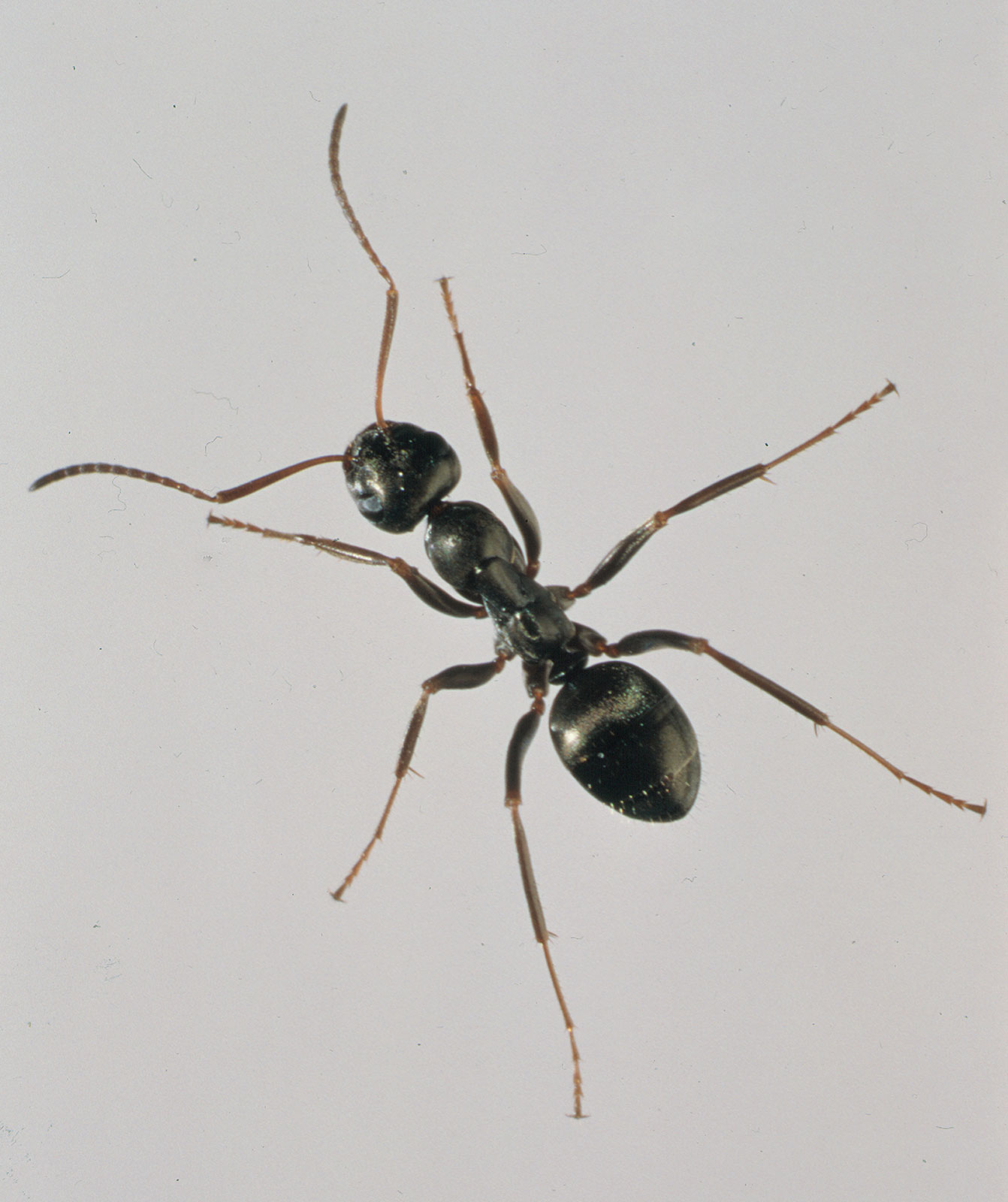 Ant Free Images At Clker
