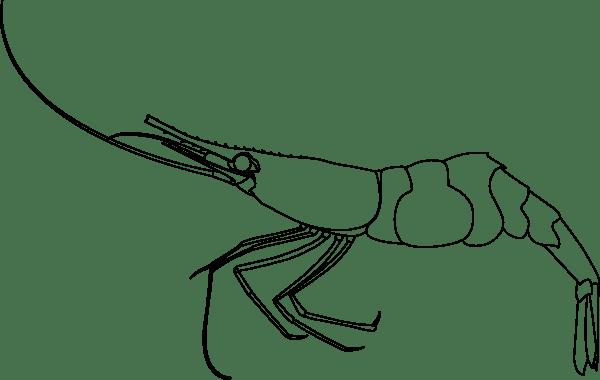 Shrimp Outline Clip Art at Clkercom  vector clip art