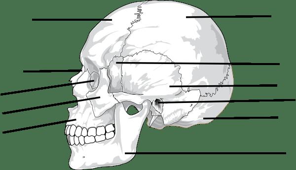 Skull Sutures Diagram, Skull, Free Engine Image For User