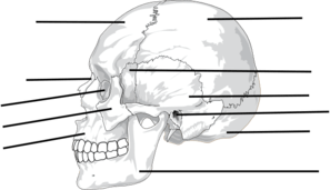 human skeleton diagram without labels front 1993 cal spa wiring label the bones of skull clip art at clker.com - vector online, royalty free ...
