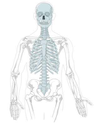 Axial Skeleton  Clean Clip Art at Clker  vector clip