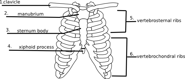 blank ribs diagram