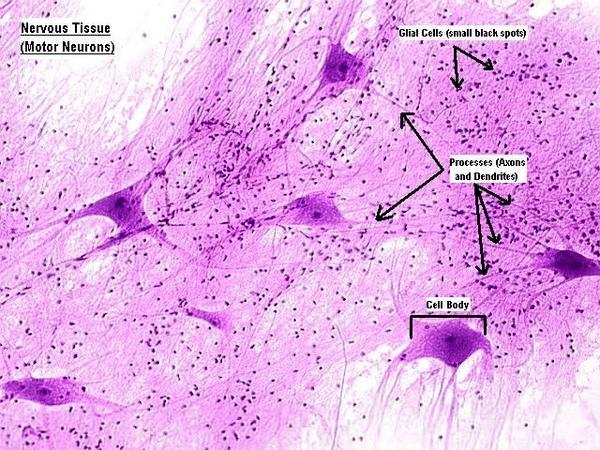 brain cross section diagram how net framework works tissue cells | free images at clker.com - vector clip art online, royalty & public domain