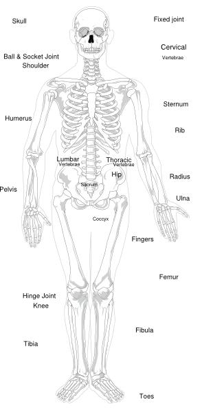 Labeled Skeleton Clip Art at Clker  vector clip art online, royalty free & public domain
