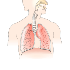 Respiratory System Blank Diagram To Label Plot Of Components Airway Free Wiring For You No Labels Www Pixshark Com Images Upper