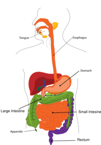 what is a tree diagram in math 1911 pistol parts simplified digestive system clip art at clker.com - vector online, royalty free ...