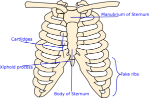 rib cage diagram labeled subaru forester radio wiring labelled clip art at clker.com - vector online, royalty free & public domain