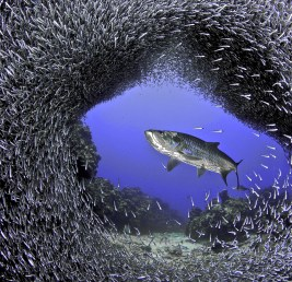 Tarpon and Silversides