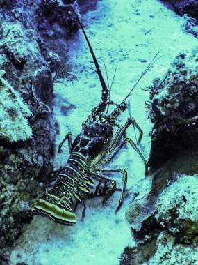 Spiny lobster - © P. Debels