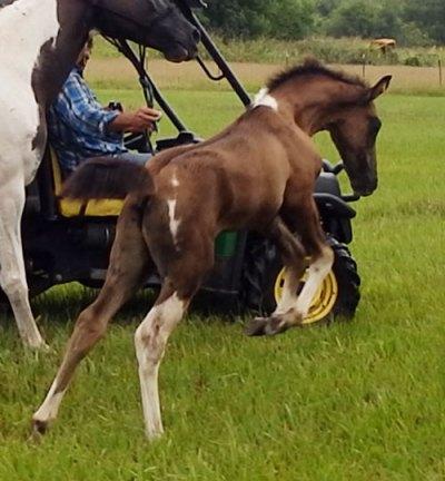 Tennessee Walking Horses - CLOUD 9 WALKERS (Tennessee ...