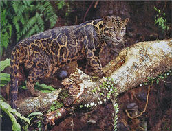 Clouded Leopard Conservation And Research In Borneo