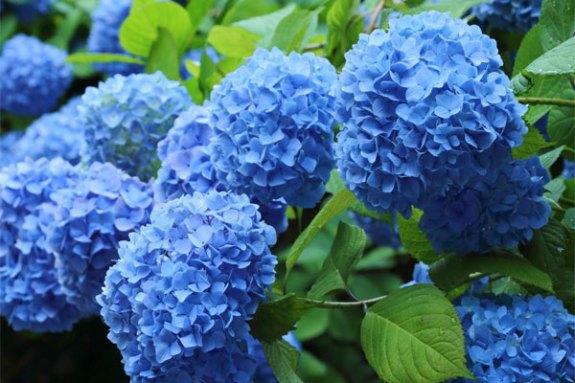 Nikko Blue Hydrangea- 3 gl size | Cloud Mountain Farm Center & Nursery
