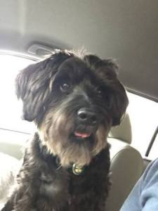 Photo contributed Lainey, a beloved black miniature schnauzer, has been missing since April 14. Her owner, with help from volunteers in the community, is continuing to search for her in the city of Clovis.