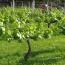 videiras para produção do vinho