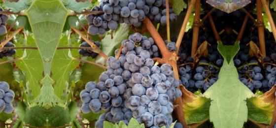 Cabernet Franc - il Vino più amato al mondo
