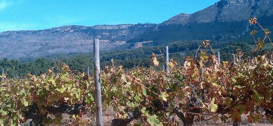 vino sudafricano constantia vitigno