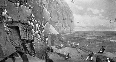 AMHN Bird Life on an Arctic Island, Bering Strait 1929