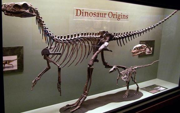 Squelletes du Herrerasaurus et Eoraptor, Musée nord-américain de la vie antique. (c) Zach Tirrell Read more: http://www.digitaljournal.com/tech-and-science/technology/google-launches-eye-opening-virtual-tour-of-world-museums/article/474758#ixzz4Kc2avQhc