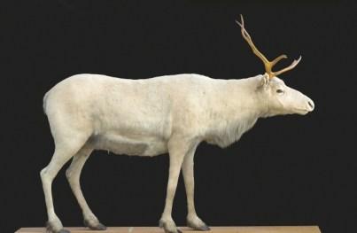 Image d'un caribou empaillé par GM Dawson (c) Andrew Niemann / Royal BC Museum