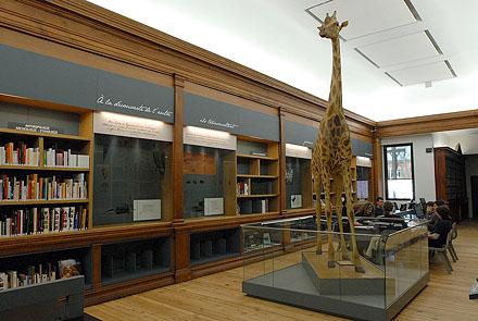 Préparation de l'inauguration du Muséum : réunion de travail du pôle documentaire dans la bibliothèque Emile Cartailhac.  Girafe au premier plan.