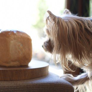 パン 手作り 食パン デニッシュパン 外出禁止 ヨークシャーテリア 犬 よーきー
