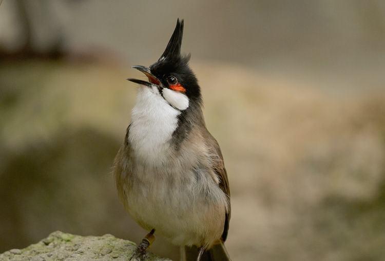 Bul Bul Orfeo (Pycnonotus Jocosus)