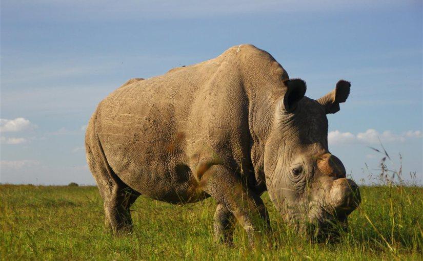 último rinoceronte blanco