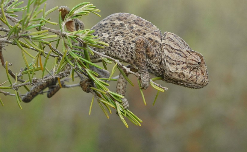 Camaleón común (chamaleo chamaleon)