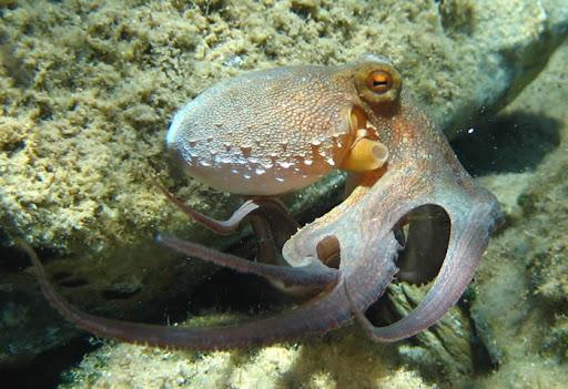 Pulpo común (Octopus vulgaris)