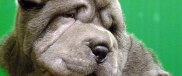Cucciolo di SharPei in Vendita  Club del cane