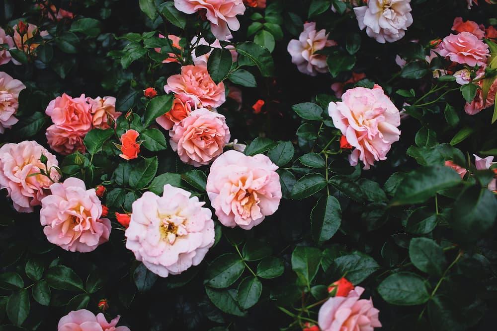 sant-jordi-rose-san-giorgio-aprile