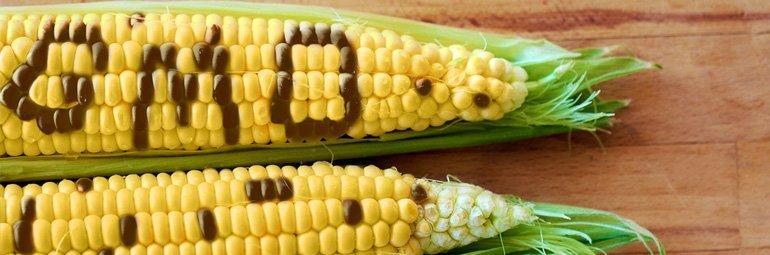 Milho transgenico GMO