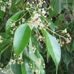 Alcanfor Odor picante e vegetal, que aparece em certos vinhos elaborados com uvas muito ricas em componentes terpénicas.